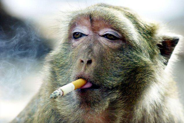 Orangutanka Tori iz živalskega vrta v Indoneziji se mora odvaditi kajenja. Stara je 15 let, kaditi pa je začela pri petih letih.