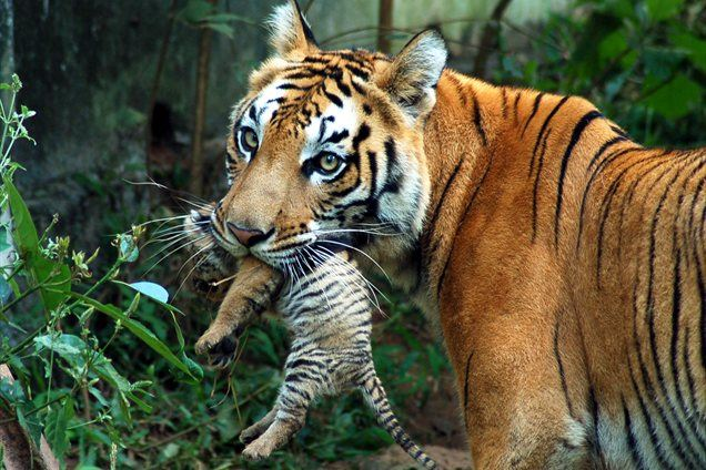 Število tigrov v parku Ranthambhore narašča.