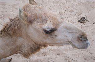 Da Vinci Learning: Kamele s tremi vekami na očesu