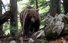 Kaj se dogaja s slovenskimi medvedi v tujini? (video)
