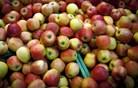 Na Hrvaškem iščejo tatove strupenih jabolk