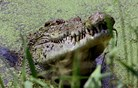Pijani lovec krokodila sunil v oko in si rešil življenje