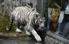V indijskem živalskem vrtu beli tiger ubil dečka