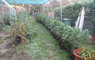 Policisti odkrili posest z 435 sadikami konoplje (foto)