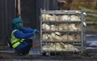 Nizozemska zabeležila še drugi primer ptičje gripe v državi
